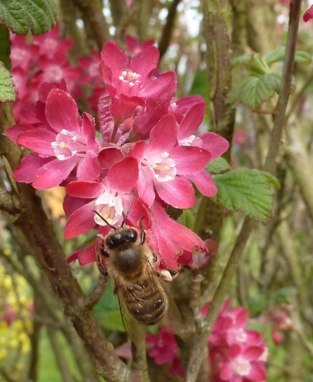 rote Zierquitte mit Biene