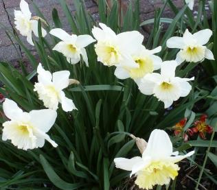 Weißer Osterglockenbusch