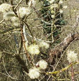 Weidenkätzchenbusch