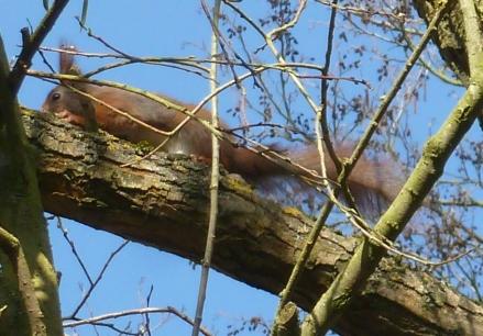 Eichhörnchen auf Futter suche
