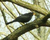 Die Amsel auf dem Baum