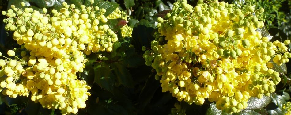 Mahonieblüten