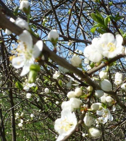 Wilde Kirschblüten