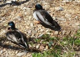 Entenpaar an der Ahr beim Sonnen