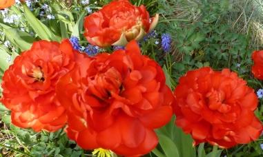 Rote Tulpen in voller Blüte