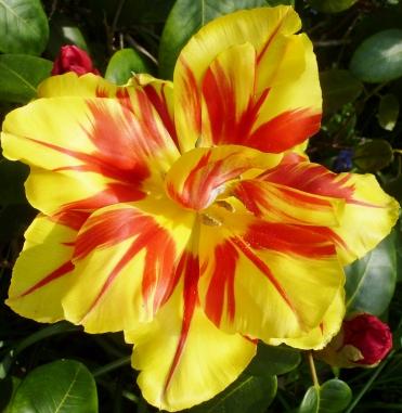 Papageientulpen Blüte