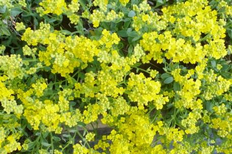 Gelbe Bodendeckerblüten