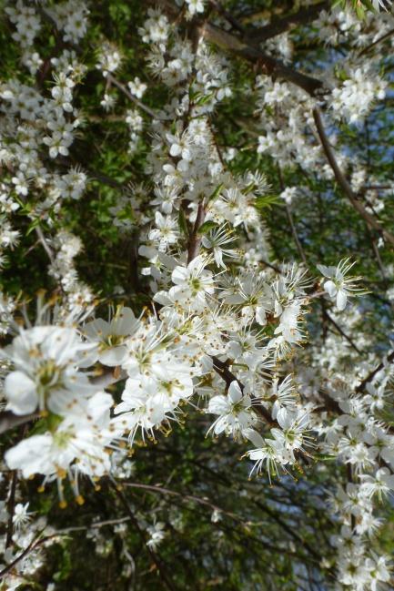 Weißer Wildblütenbusch