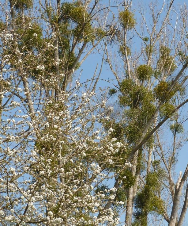 Mistelbüsche im hohen Bäumen