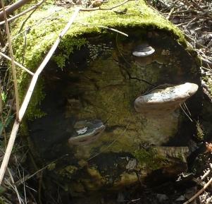 Gefällter Baum mit Pilze