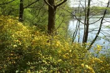 Ranunkelbuschblüten am See