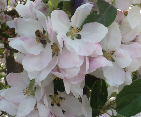 Apfelblüte am Wegesrand