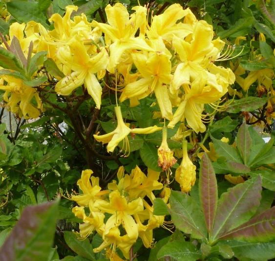 gelbe Blütenbusch