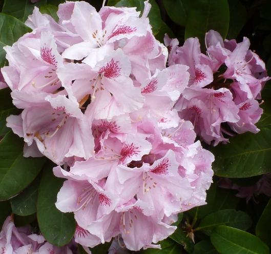 rosaner Rhododendron