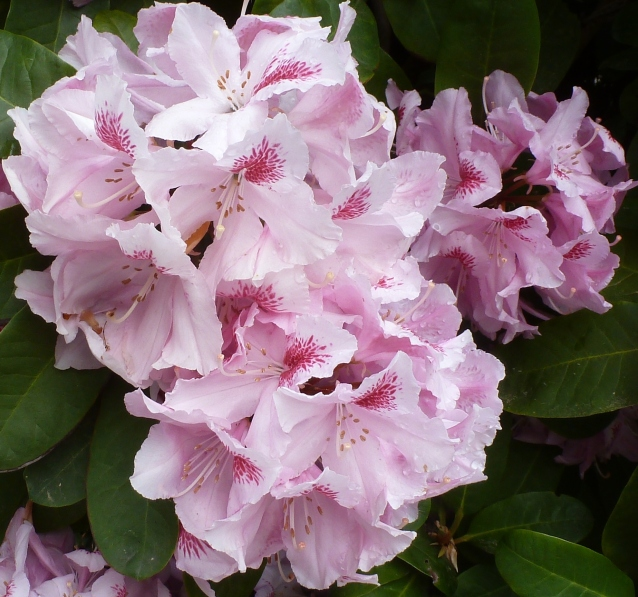 rosaner Rhododendron