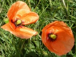 Zwei wunderschöne Mohnblüten
