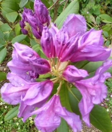 lilane Rhododendronblüte