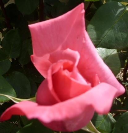 eine Schönheit von der Rose
