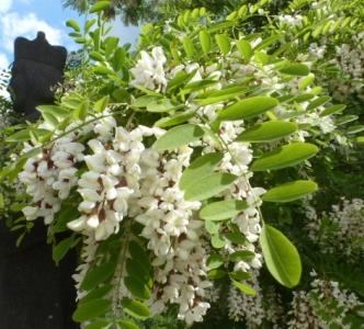 Akazienblütenbaum