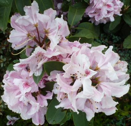 Weiß-rosa Blüten