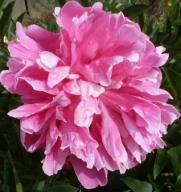 rosane Pfingstrosenblüte