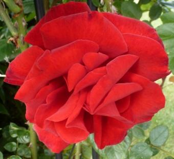 Die rote Rose wie Samt