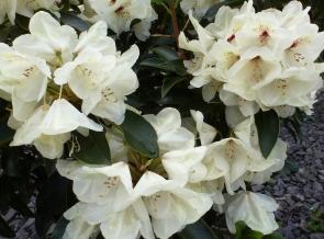Weiße Blütenpracht