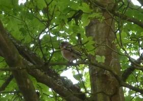 Der Buchfink im Baum