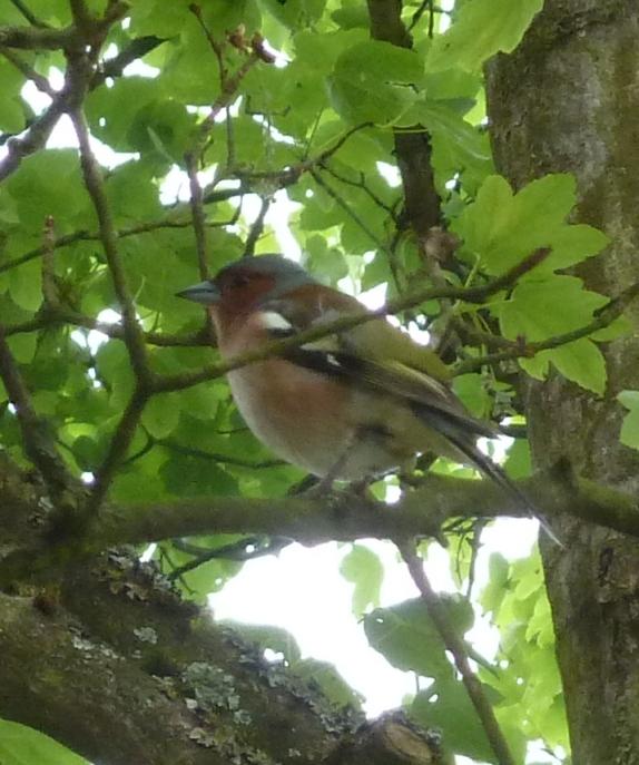 Buchfink im Baum