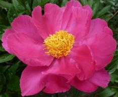 Pfingstrose in voller Blüte