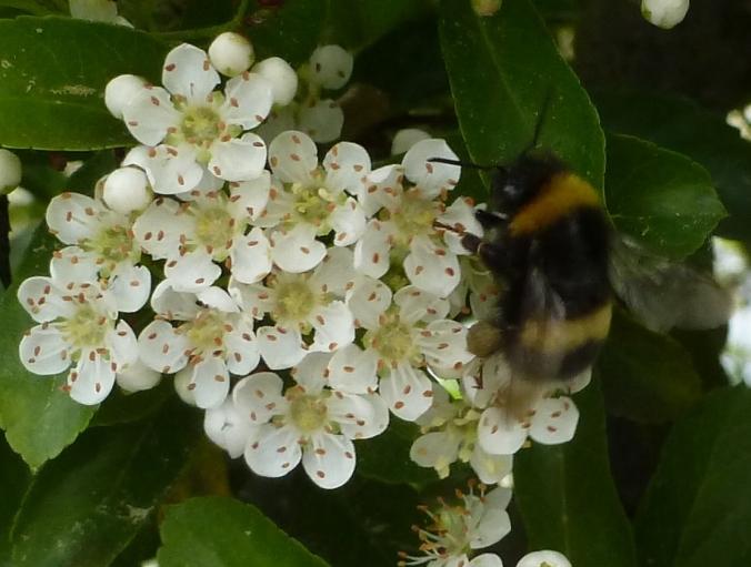 Blütennecktar für Hummeln