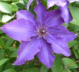 Dunkelblaue Clematesblüte