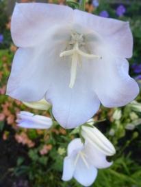 weiße Petunienblüten