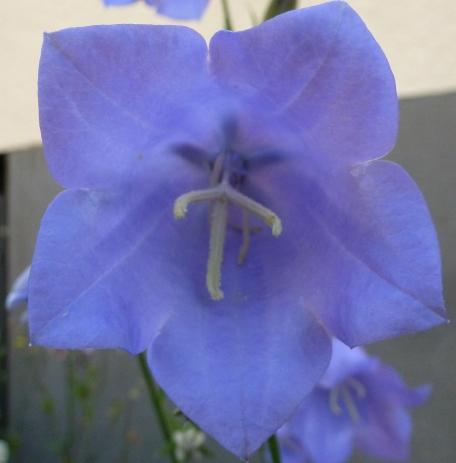 dunkelblaue Blüte
