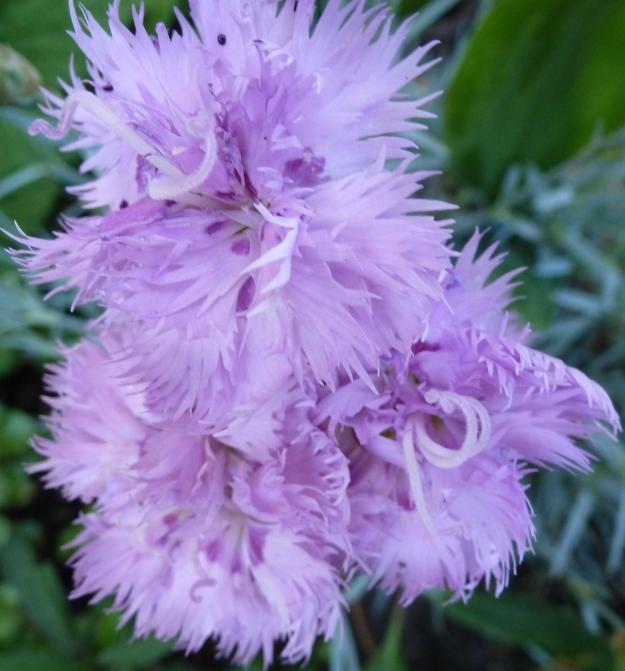 Bachnelkenblüten