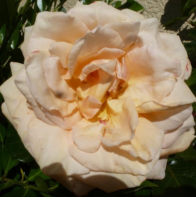 Verblühte Rosenblüte
