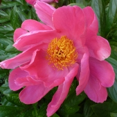 rote wilde Rosenblüte