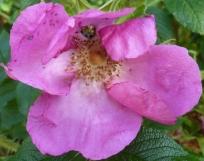 Wildrosenblüte