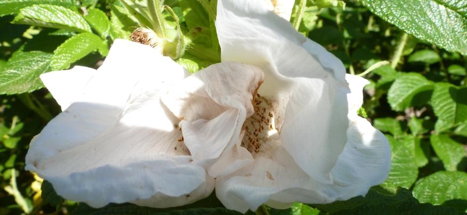 Wilde weiße Rosenblüten
