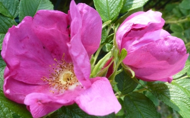Wildrosenblüten