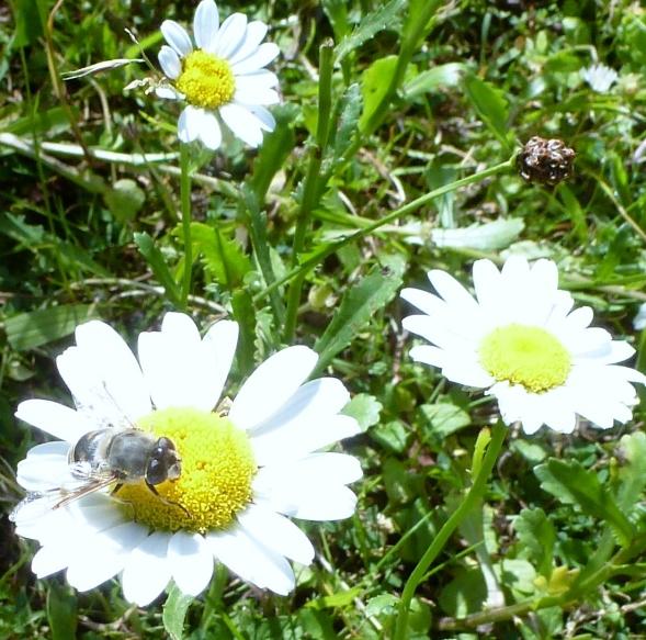 Wilde Margeritenblüten