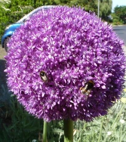Zwiebelblüte mit Biene
