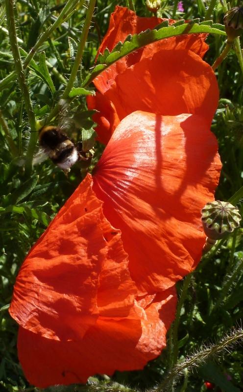 Mohnblüte mit Hummel