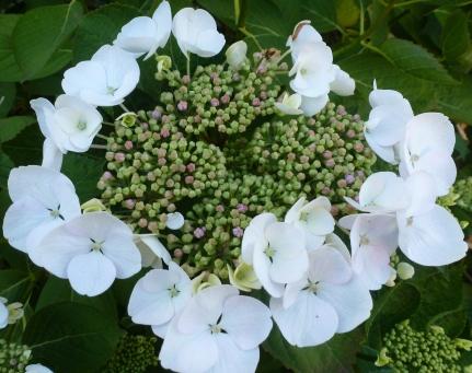 Hortensie dopel Blüte