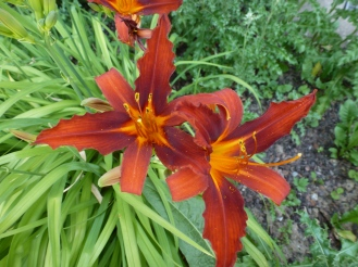 dunkelfarbige Lilien