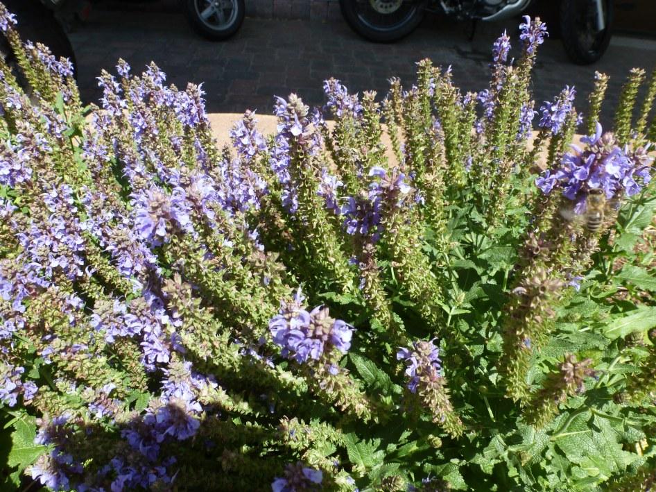 Lavendelbusch