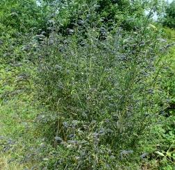 Ginsterbusch mit Samenschoten