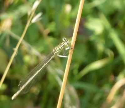 Eine zarte Libelle am Grashalm