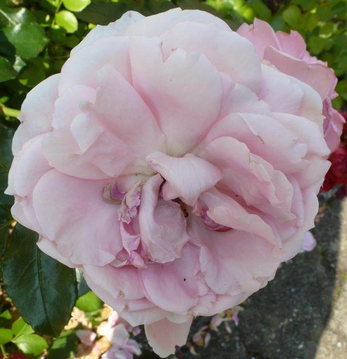 rosane Rose fast schon verblüht
