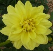 Schöne gelbe Dahlienblüte